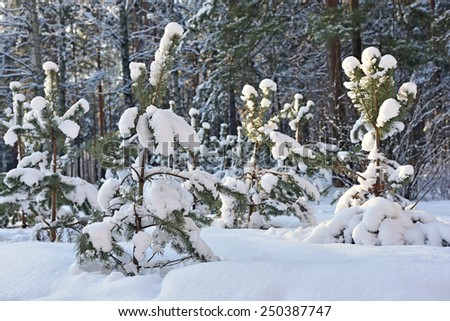 Pine trees covered with snow in winter park - stock photo