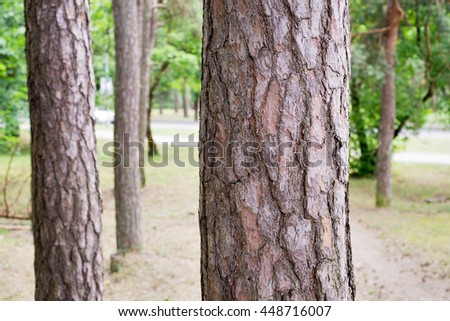 Pine trees in a park, summer time - stock photo