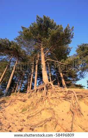 Pine trees in dunes - stock photo