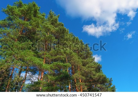 Pine trees on summer day in forest on blue sky background - stock photo