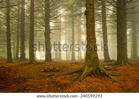 Pine trees stand tall in the foggy forest along the Blue Ridge Parkway in the North Carolina mountains. - stock photo