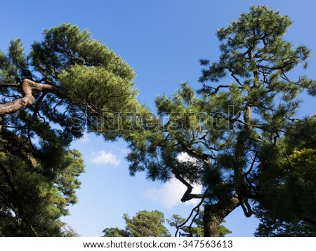 Pine trees with branches touching in the air - in Kenrokuen garden, Kanazawa, Japan - stock photo