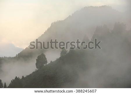 Pine trees with fog (isle of La Palma. Canary Islands) - stock photo