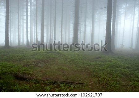 Pine - wood with fog in backcloth. - stock photo