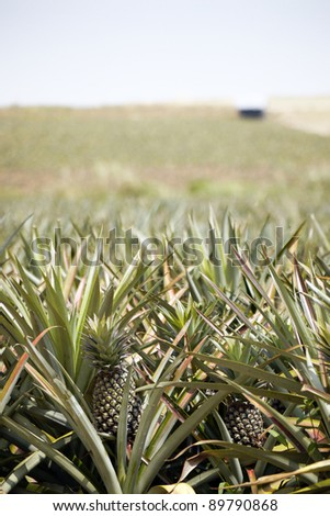 Pineapple Agriculture Plantation - stock photo