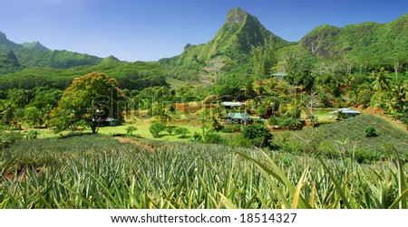 Pineapple plantation on Moorea - stock photo