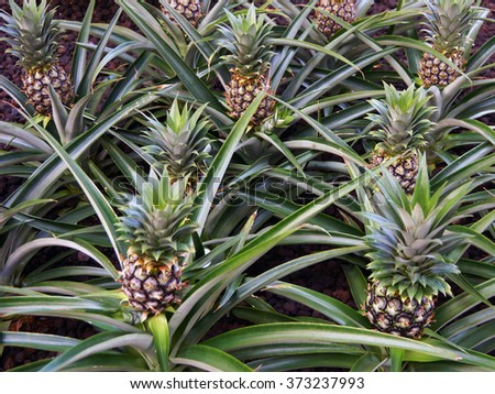 Pineapples growing in field - stock photo