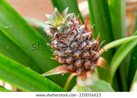 Pineapples growing on a pineapple plantation at the island of Sao Miguel - stock photo