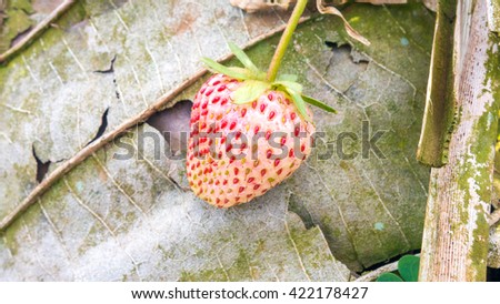 Pineberry with dry leaf - stock photo