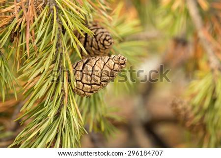 Pinecone on twig - stock photo