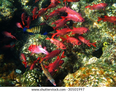 Pinecone soldierfishes and coral reef - stock photo