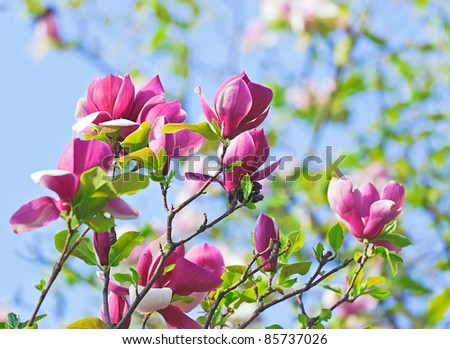 Pink abloom magnolia flower in sunny spring day in front of blue sky - stock photo