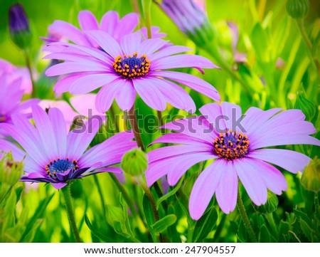 Pink African Daisy Flowers in a Nature Garden, Osteospermum - stock photo