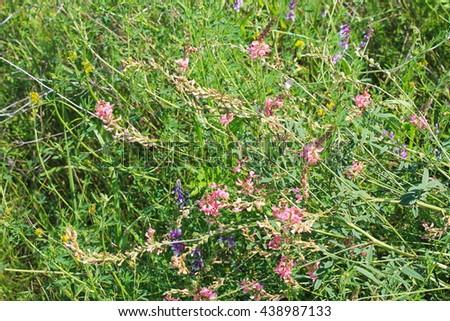 Pink alfalfa flowers  - stock photo