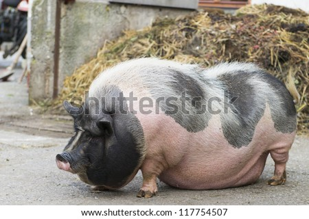 pink and black speckled pot-bellied pig stands in front of  dungheap - stock photo
