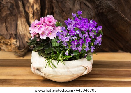 Pink and lilac indoor flowers Bellflowers and in a earthen potas indoor decoration. - stock photo