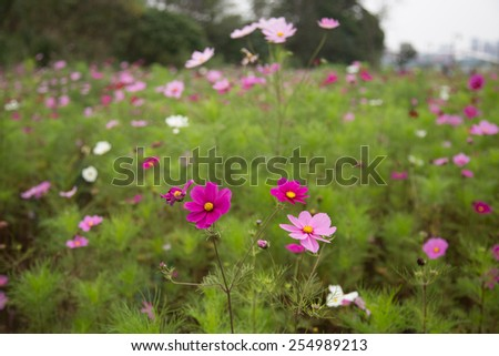 Pink and purple cosmos flowers in garden, shallow DOF - stock photo
