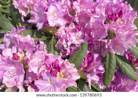 Pink and Purple rhododendron bush in full blossom for background use - stock photo