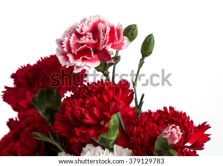 Pink and Red carnation flower on the white background. - stock photo