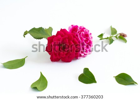 pink and red rose on white background selective focus with shallow depth of field - stock photo