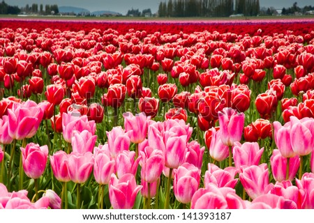 Pink and red tulips in Skagit Valley - stock photo