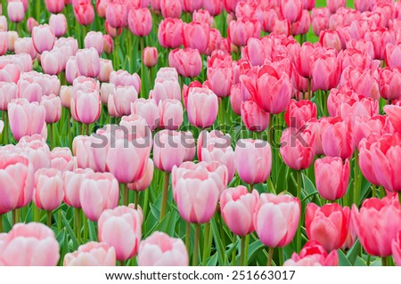 Pink and red tulips on the flowerbed in spring flower park. Shallow depth of field. - stock photo