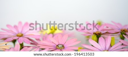 pink and saisies panorama - stock photo