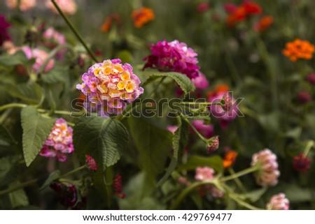Pink and Violet Flowers Lantana Camara - stock photo
