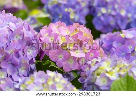 Pink and violet Hydrangea flowers in a garden - stock photo