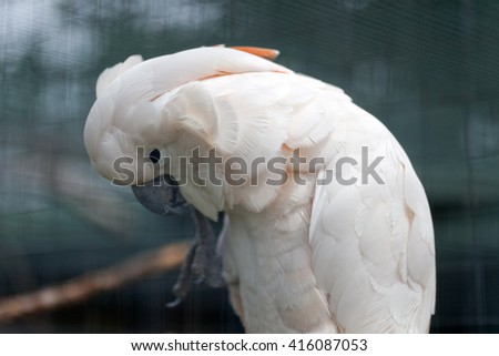 Pink and white Cockatoo in natural habitat - stock photo