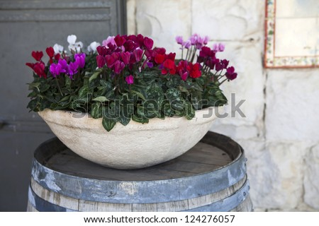 pink and white cyclamens in bowl on barrel as a decoration near stone wall - stock photo