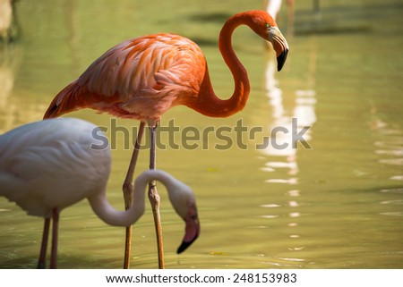 pink and white flamingo - stock photo