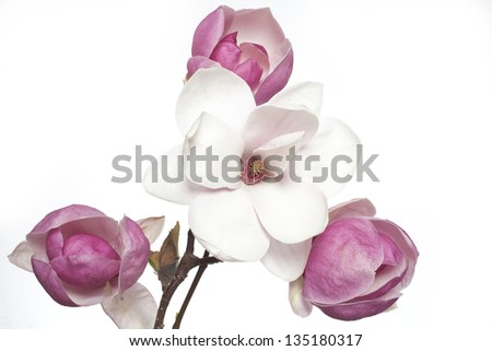 pink and white magnolia flowers, magnolia flower - stock photo