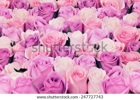 Pink and white natural roses flowers background, soft focus  - stock photo