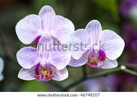 Pink and white orchid stripes - stock photo