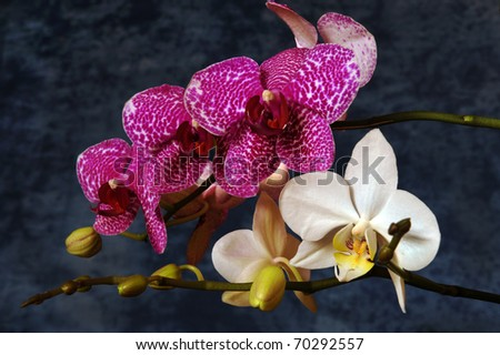 Pink and white orchids on a dark background - stock photo