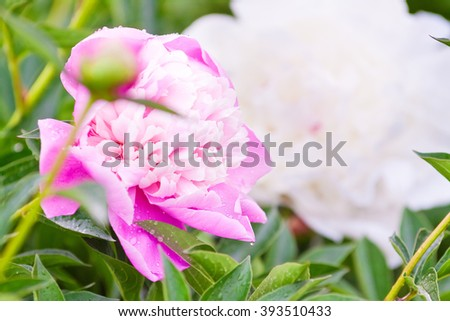 pink and white peony flowers in a magnificent lush green foliage - stock photo