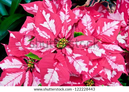 Pink and white poinsettias, Christmas flowers - stock photo