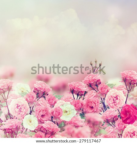 Pink and White Rose Flowers - stock photo