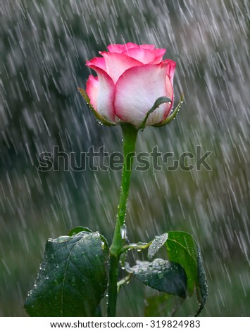 Pink and white rose into the rain - stock photo
