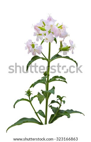 Pink and White Saponaria officinalis (Bouncing Bet) wild flower isolated over background - stock photo
