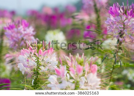 Pink And White Spider flower in the garden for background use.selective focus, Soft focus  - stock photo