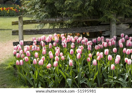 pink and white tulips by old fence in cultivated landscaped garden - stock photo