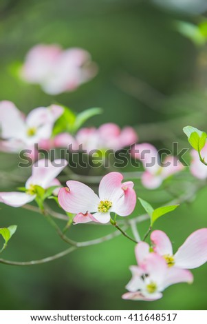 Pink and yellow dogwood blooms in the spring - stock photo
