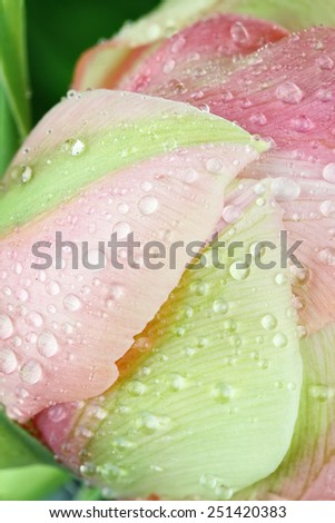 Pink Angelique Tulip macro abstract with water droplets on the petals. Extreme shallow depth of field. - stock photo