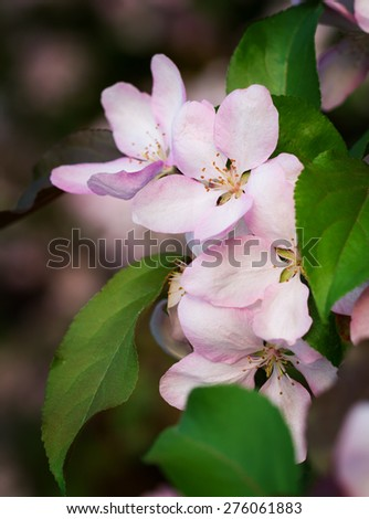 Pink apple blossoms on the branch in early May - stock photo