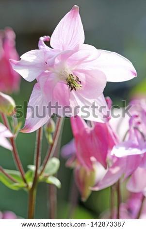 Pink Aquilegia - stock photo