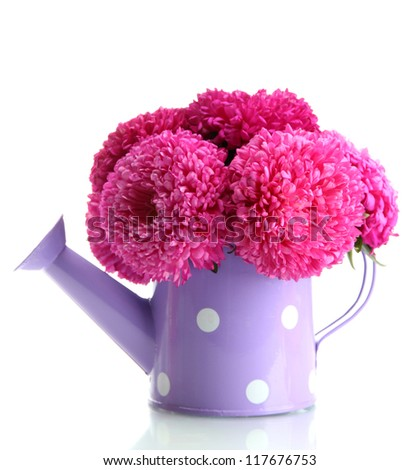 pink aster flowers in watering can, isolated on white - stock photo