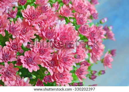 pink autumnal chrysanthemum and dew drops - stock photo