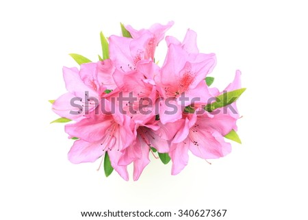 Pink azalea - stock photo